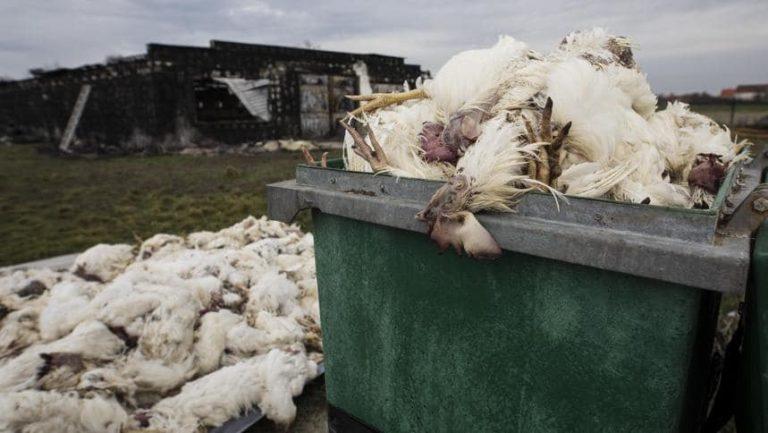 Ptasia grypa zbiera śmiertelne żniwo