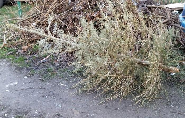 W Legnicy rusza zbiórka choinek