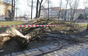 drzewo_wichura_legnica