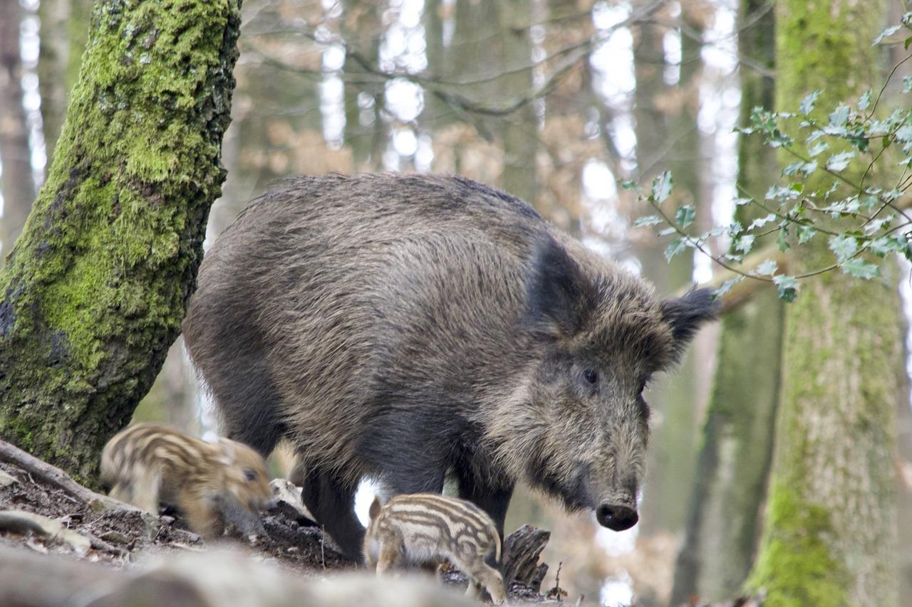 Sołtys wytropi dzikie zwierzęta na zlecenie rządu (WIDEO)