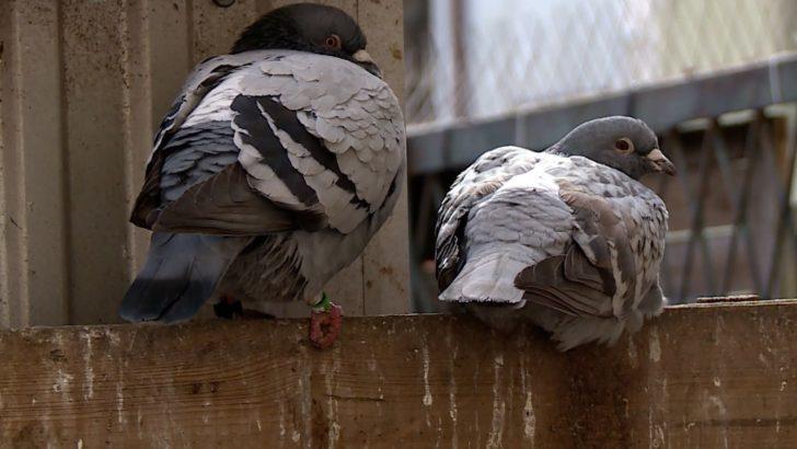 Gołębie poróżniły sąsiadów (WIDEO)