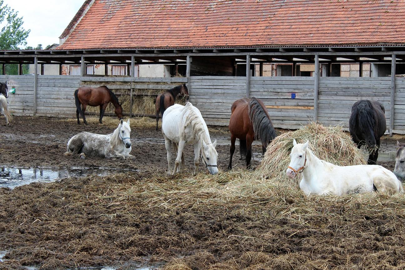Konie uratowane przed rzeźnią w dramatycznej sytuacji (WIDEO)