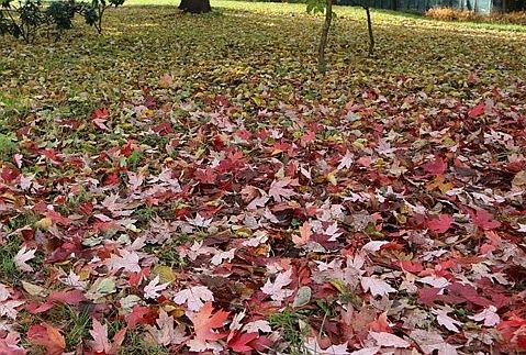 Nad Kaczawą rusza zbiórka liści. Gdzie i kiedy?