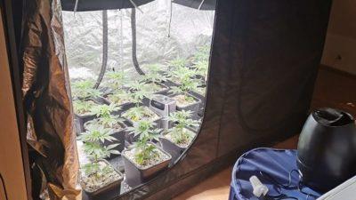 Policjanci zamknęli domowe plantacje marihuany (WIDEO)