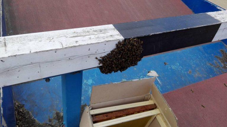 Pszczoły opanowały miasto
