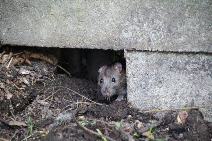 Pozbędą się szczurów