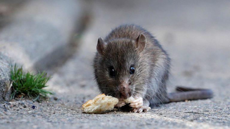 Miasto pozbędzie się szczurów