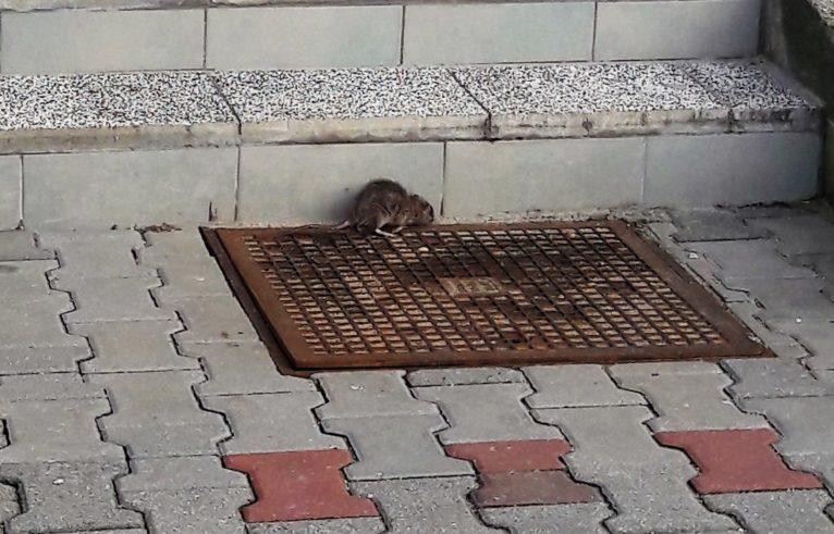 W Jerzmanowej walczą ze szczurami